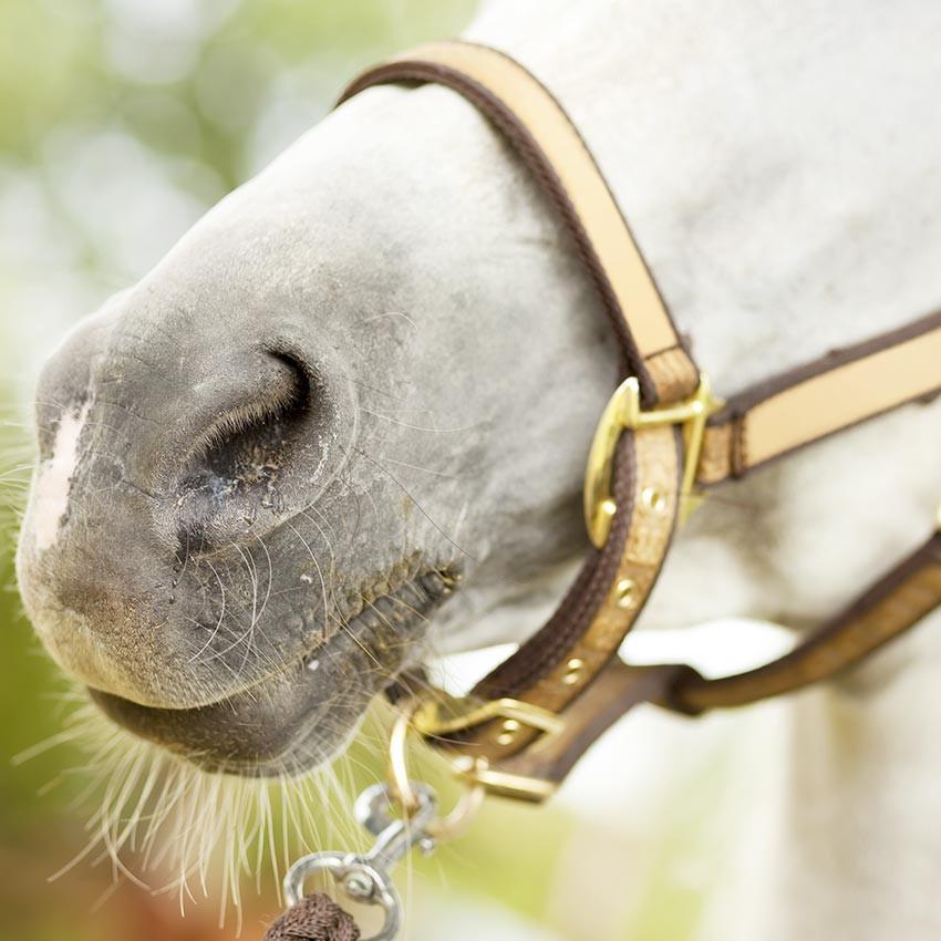 Nébulisation chez le cheval : Pourquoi devient-elle si populaire