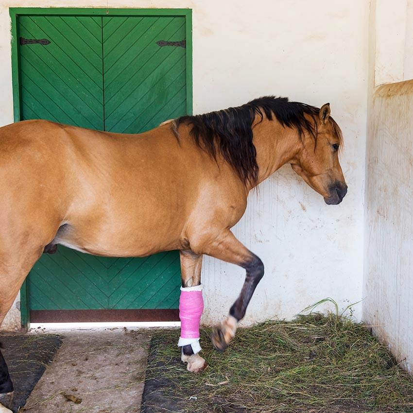 Lymphangites chez le cheval : Les causes et les traitements