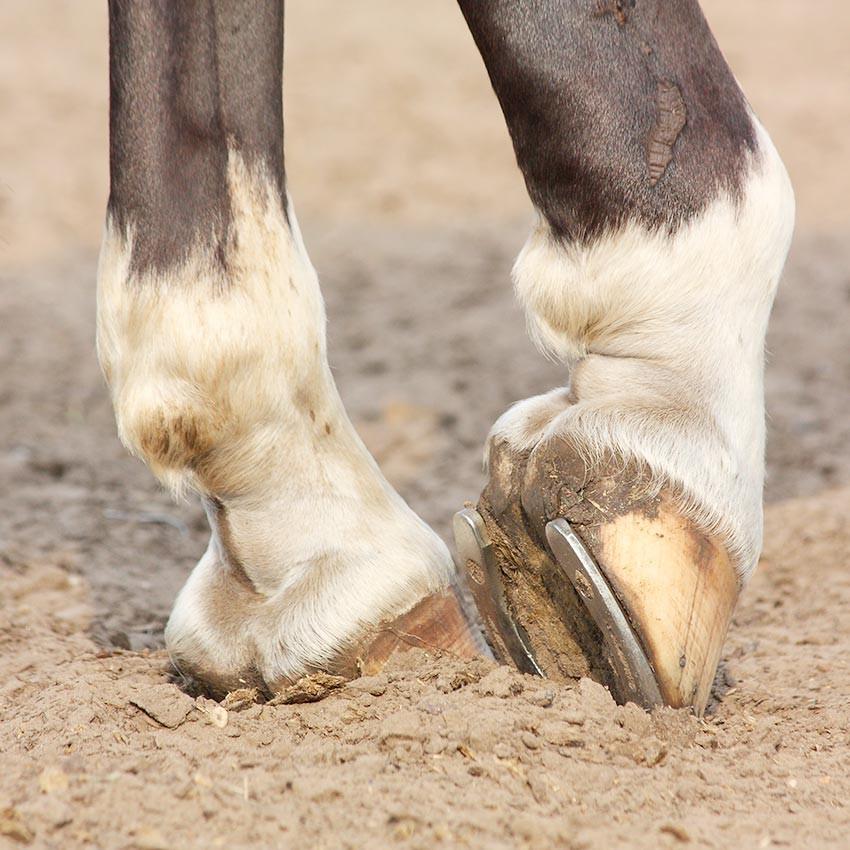 Pathologies du boulet chez le cheval : Comprendre et soigner