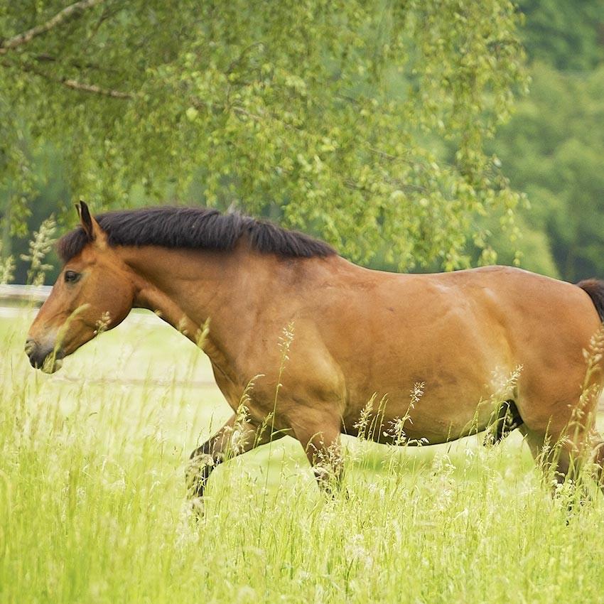 Remèdes de grand-mère pour soigner les chevaux