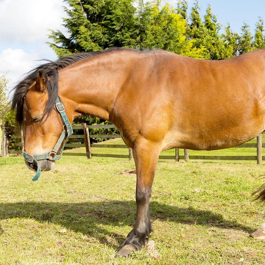 Fourbure chez le cheval : Ce qu'il faut savoir