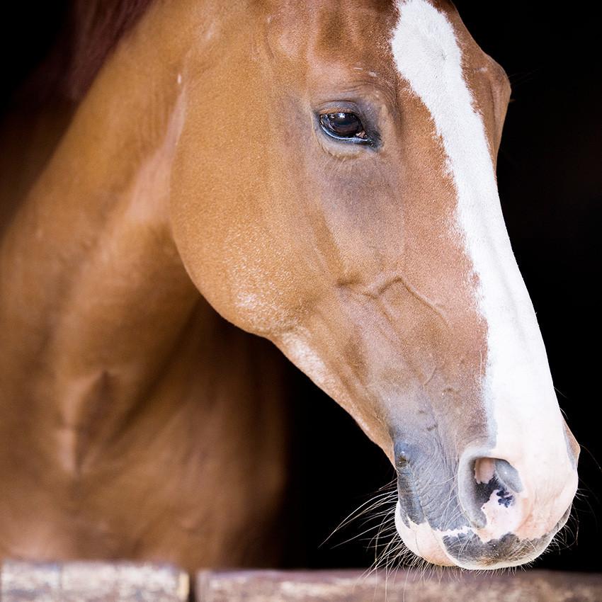 Teigne chez le cheval : Causes et traitements